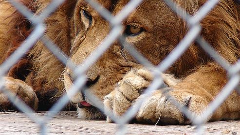 caged-lion-crop