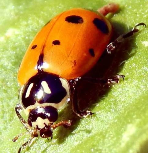 Ladybug closeup macro shot