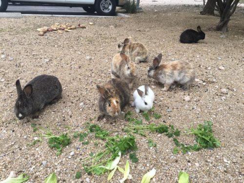 Feral Bunnies in Las Vegas